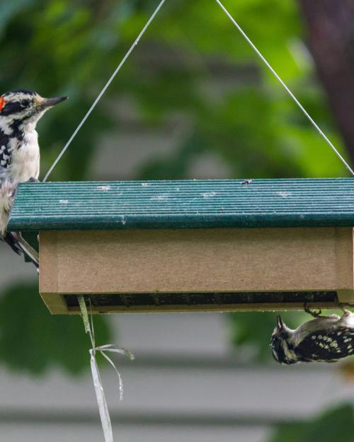 Downy & Hairy Woodpeckers