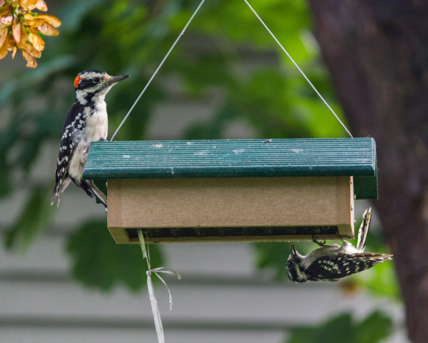 Downy & Hairy Woodpeckers