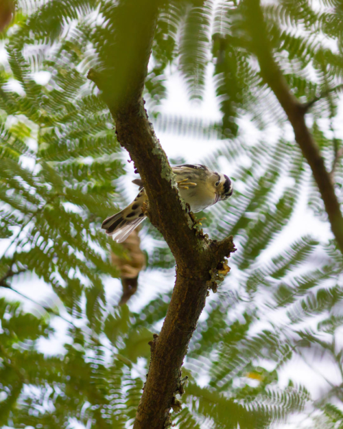 Black-And-White Warbler looks down at the camera under a tree canopy
