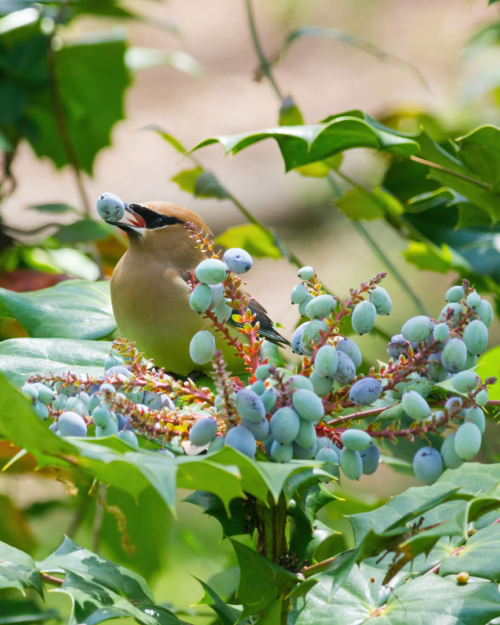 Cedar Waxwing enjoying berries
