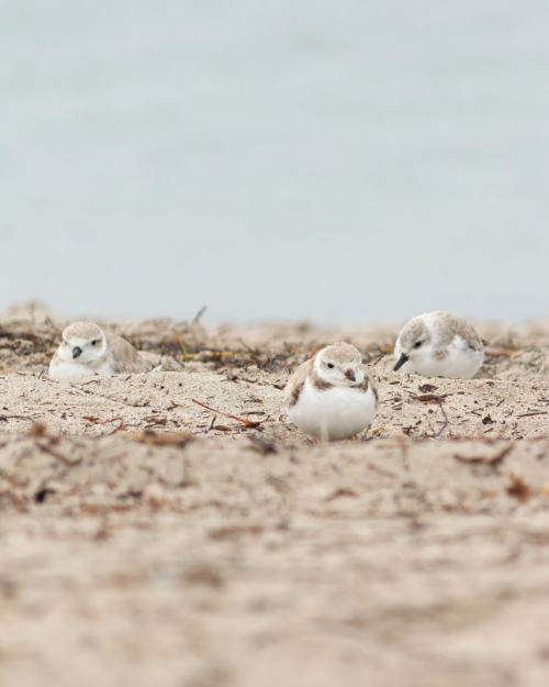 Sanderling & Piping Plovers on the beach
