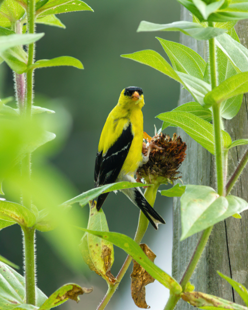 American Goldfinch eating thistle